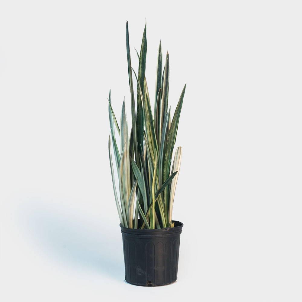 Sansevieria Bantel's Sensation Plant Care