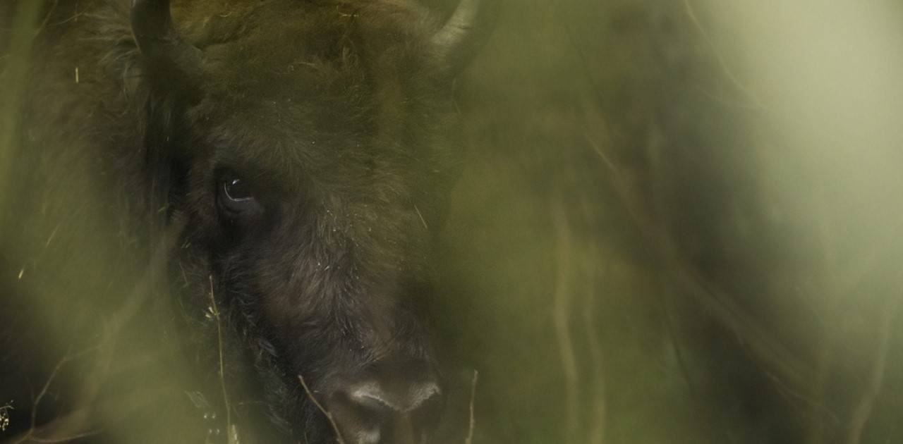 A wild bison deep in a forest in the Southern Carpathian Mountains
