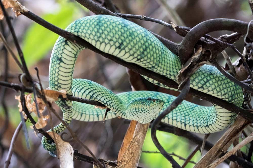 Travelbay Borneo Tours - Customer Reviews - Simon Collard - Kinabatangan River - Pit viper