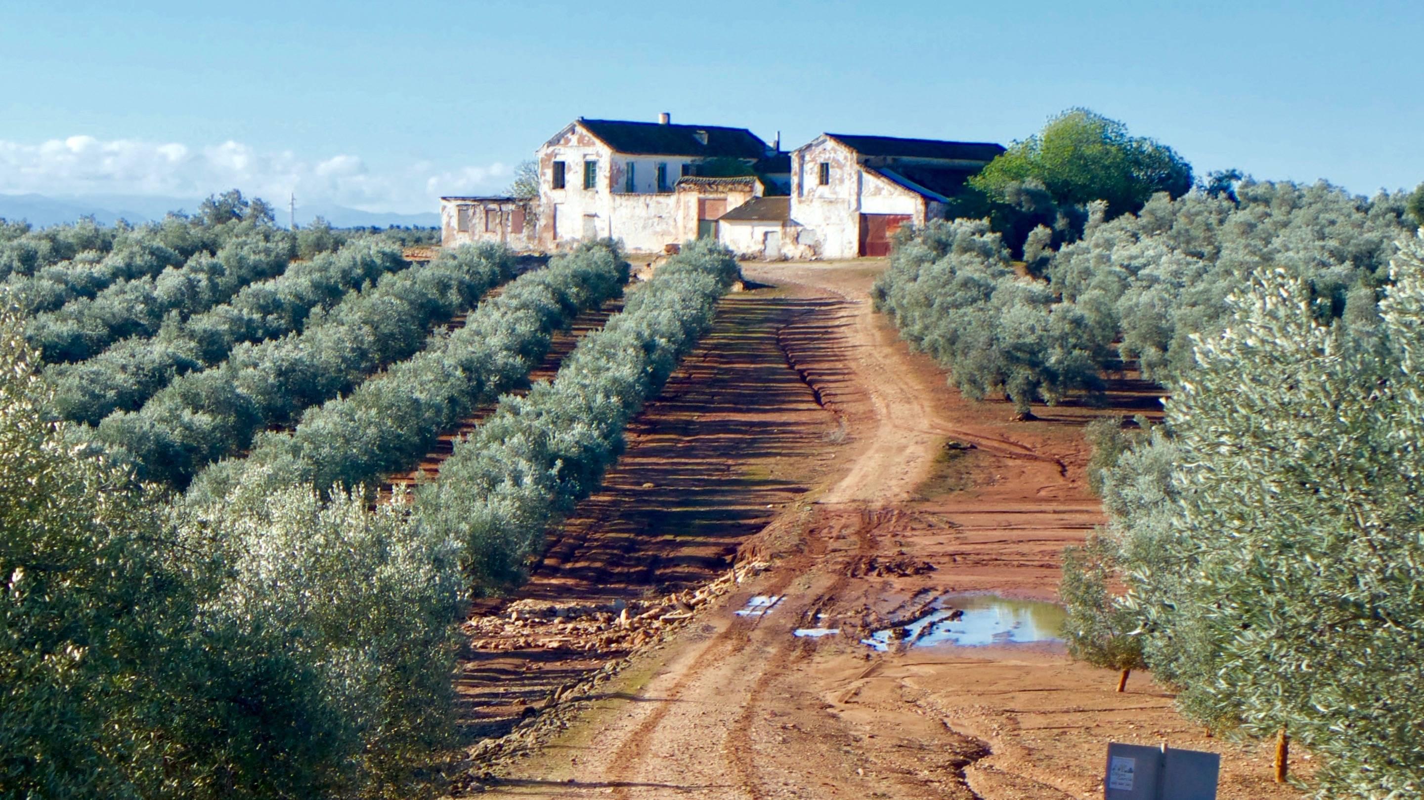 Olive Trees on Estate