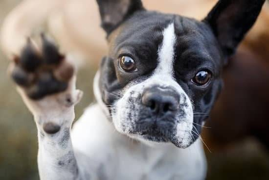 A black and white boston terrier showing his paw to the camera