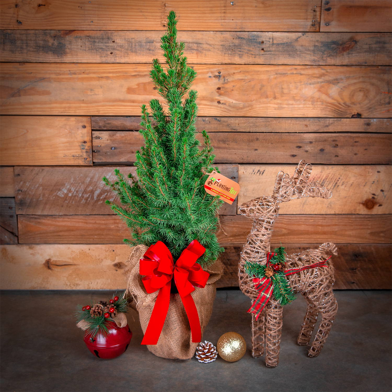 Live Table Top Christmas Tree - Dwarf Alberta Spruce