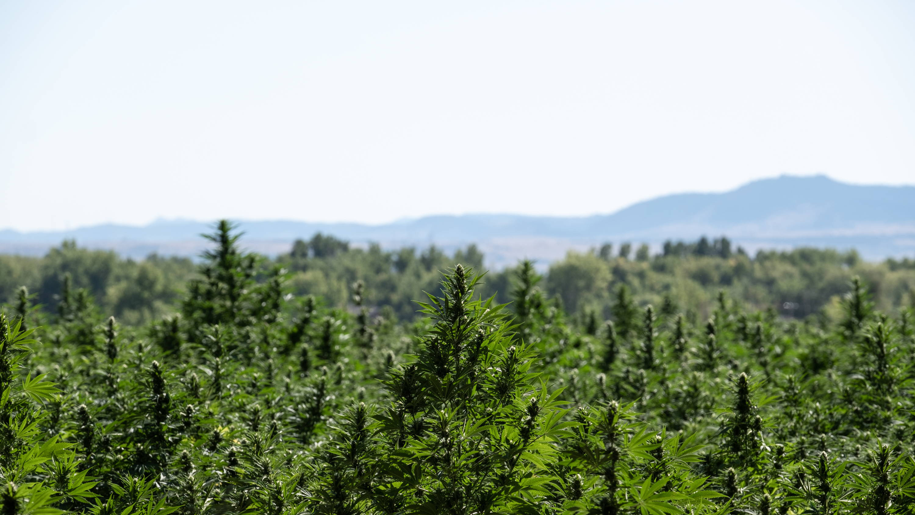 CBD For Life uses CBD from hemp grown in Colorado. Our CBD is of the highest quality. Our CBD is tested regularly for purity and potency. CBD
