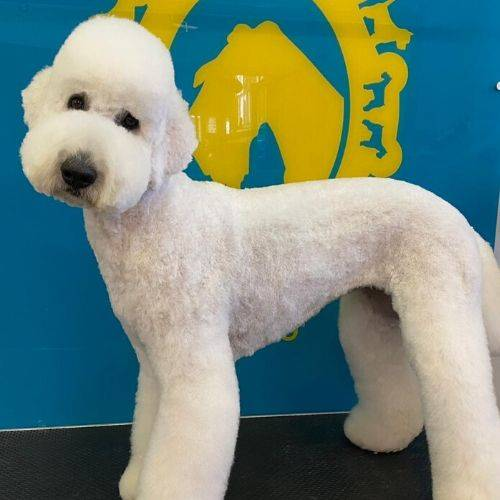 Kind, Friendly, Professional, Passionate, Labradoodle Bone Idol Dog Grooming Level 3 Dog Grooming Qualification, East Sussex, Brighton & Hove