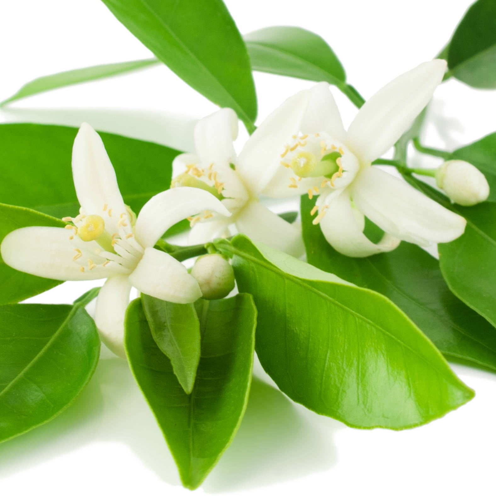 Neroli flowers, essential oil and hydrosol.