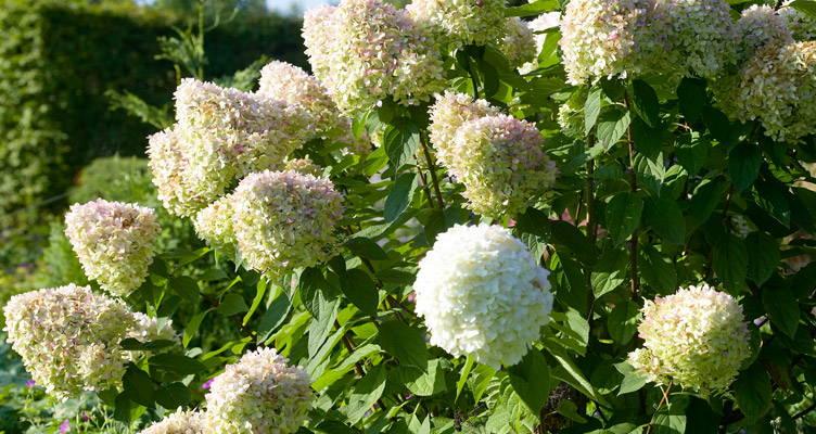 Taille de l'Hortensia (Hydrangea) paniculé