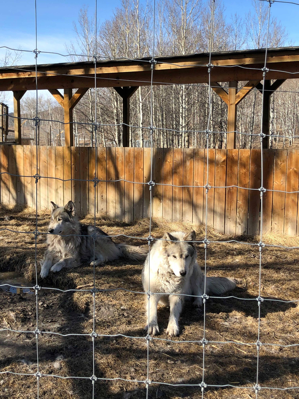 Two wolfdogs at the Yamnuska Wolfdog Sanctuary