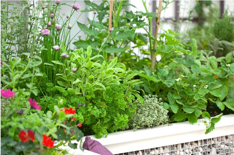 Ce bac surélevé peu large est idéal pour la culture de vos plantes aromatiques et des petits fruits comme les fraises.