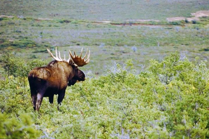 Alaskan moose grazes across lake
