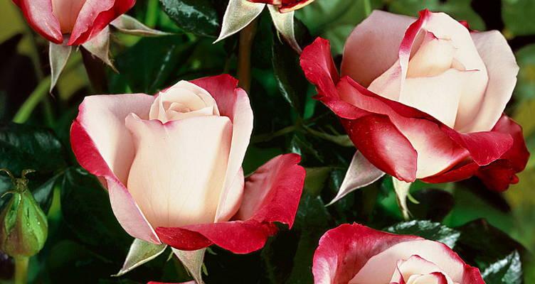 Taille d'été des rosiers