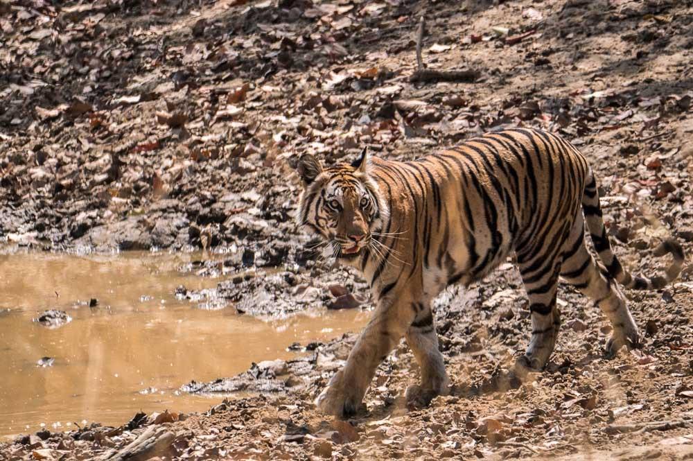 Travelbay India Tours - Customer Reviews - Simon & Gina in India - Bandhavgarh Royal Bengal Tiger