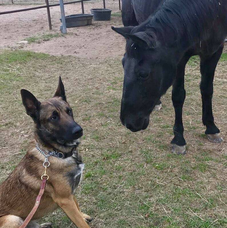 german shepherd dog looking at horse