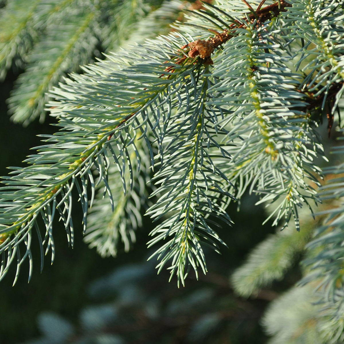 A photograph of wild spruce