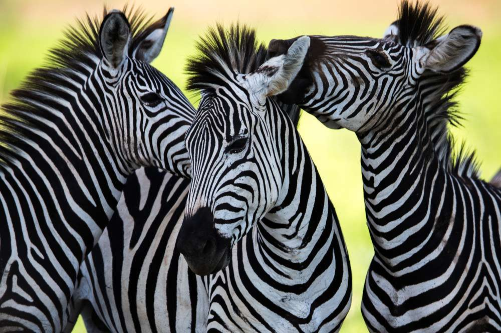 Travelbay Southern Africa Private Tours - Zebras