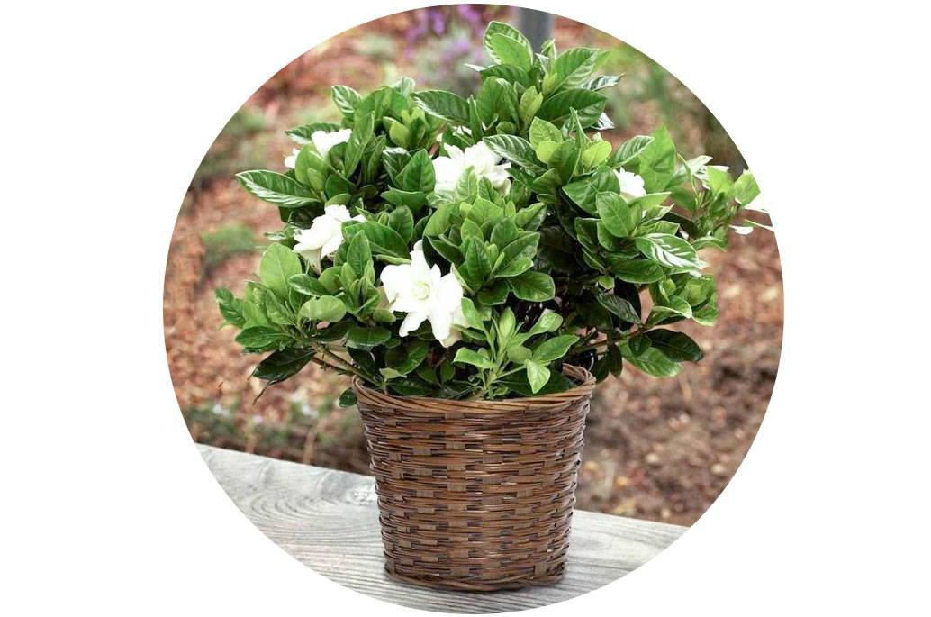 growing gardenias in pots