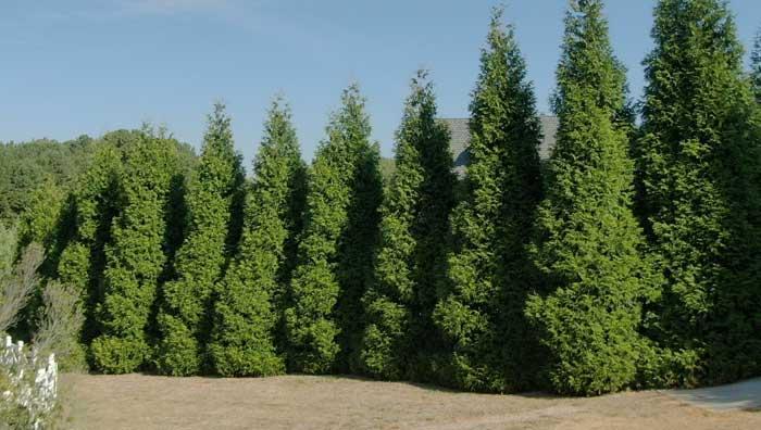 green giant arborvitae for sale