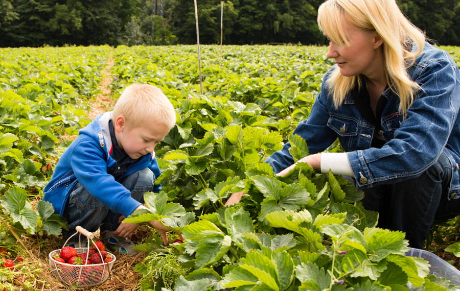 child and adult picking strawberries