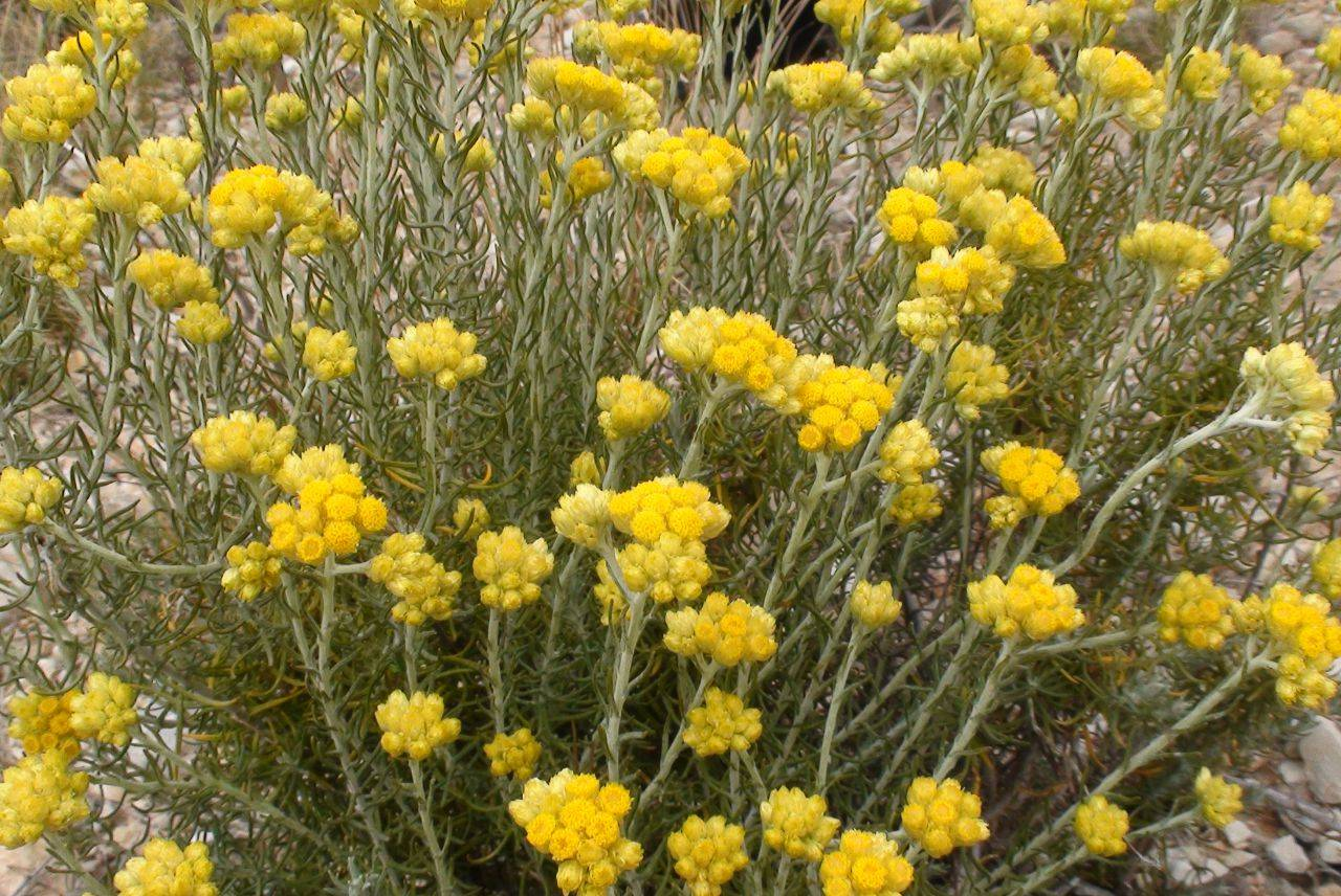 All About Helichrysum Essential Oil Why We Swear By It As A Key Ingredient Glowing Orchid Organics
