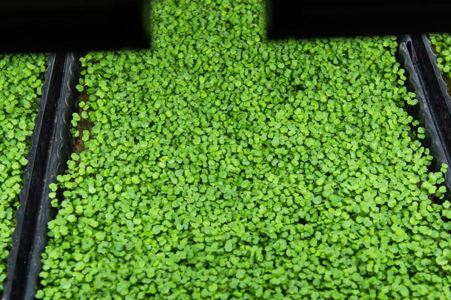 Ruccola Microgreens am Wachsen im Ökosystem