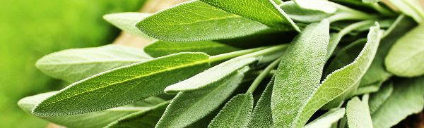 green fresh sage leaves close up in a bundle