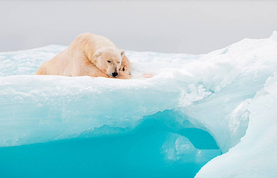 Polar Bears Wildlife photography tour and expeditions to Svalbard Norway