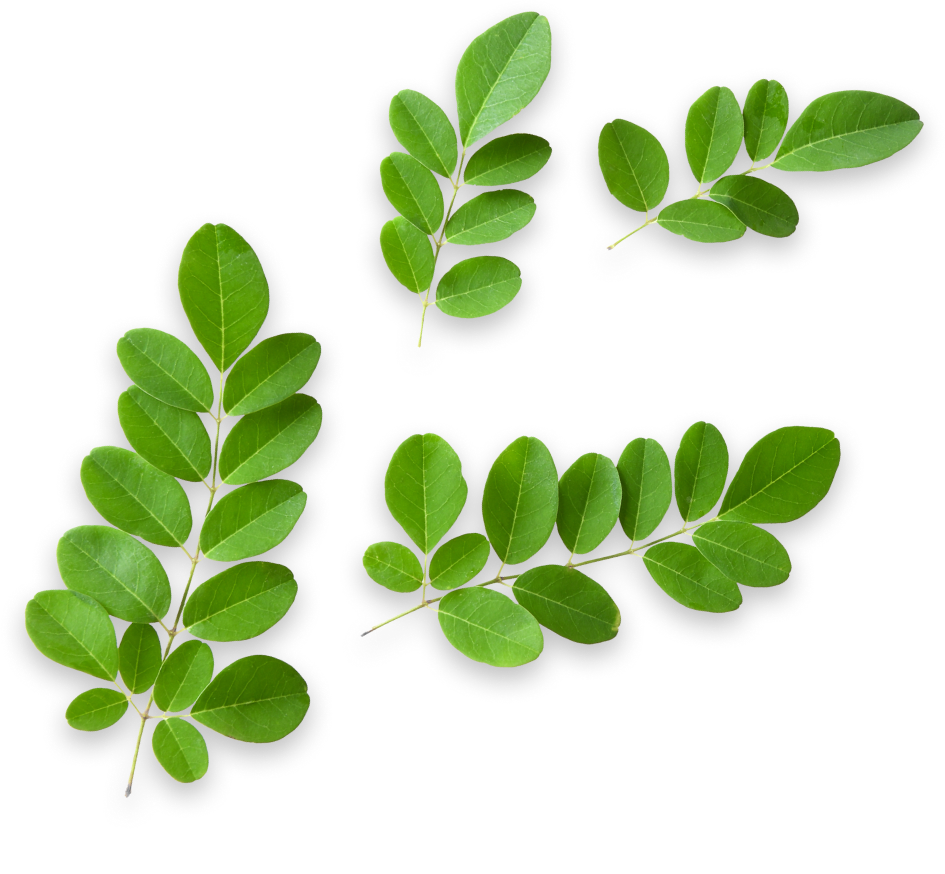 Moringa plant floating