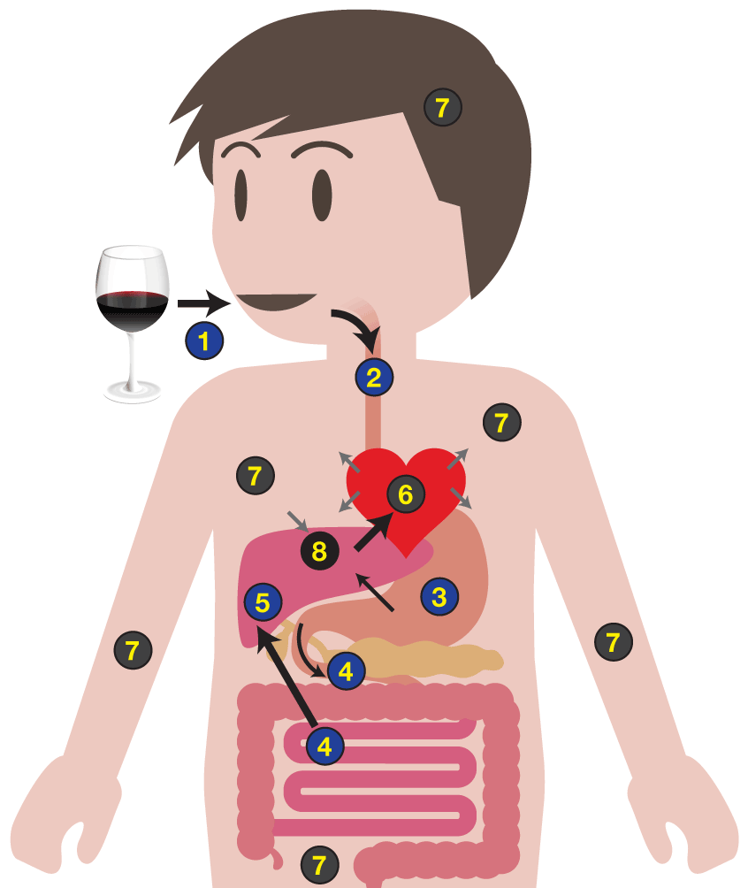 Wine, Beer, and cocktail absorption