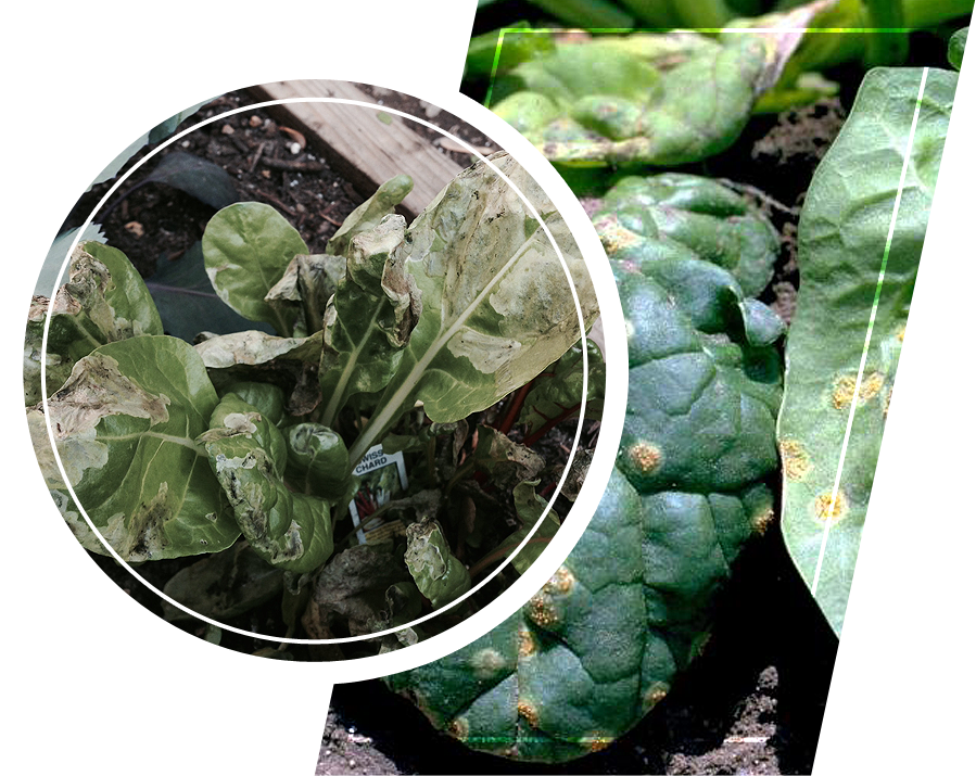 Plants with diseases