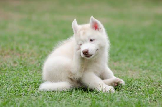 A white husky puppy sitting in the green grass itching his face with his back leg