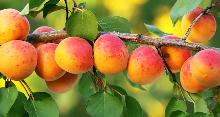 Peaches and Apricots, Delicious Sub-Tropical Fruits