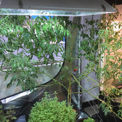 Tomato plants being trained under an HPS grow light.