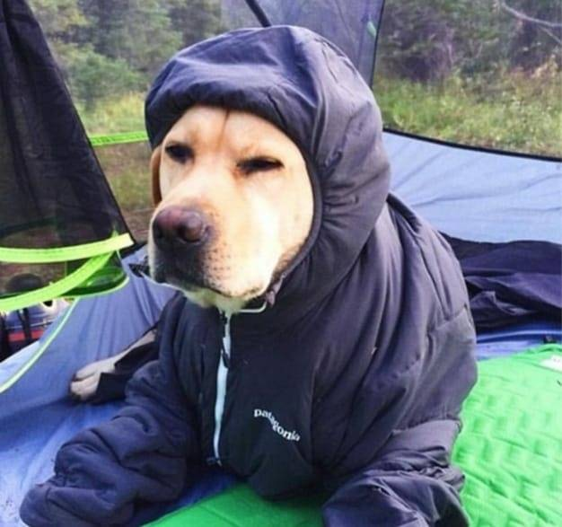 yellow labrador wearing rain coat