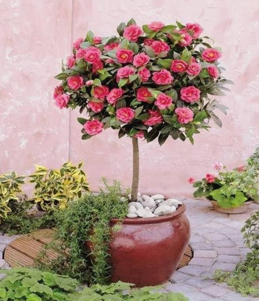 Growing Rose Trees In Containers The 6 Steps Plantingtree