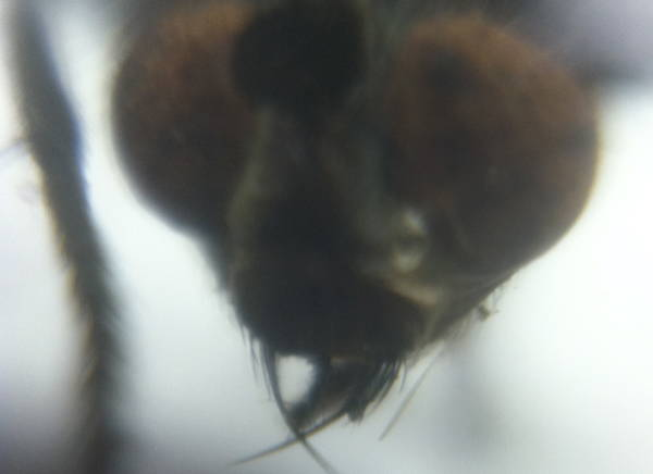 A fly from a student's collection gets his close-up
