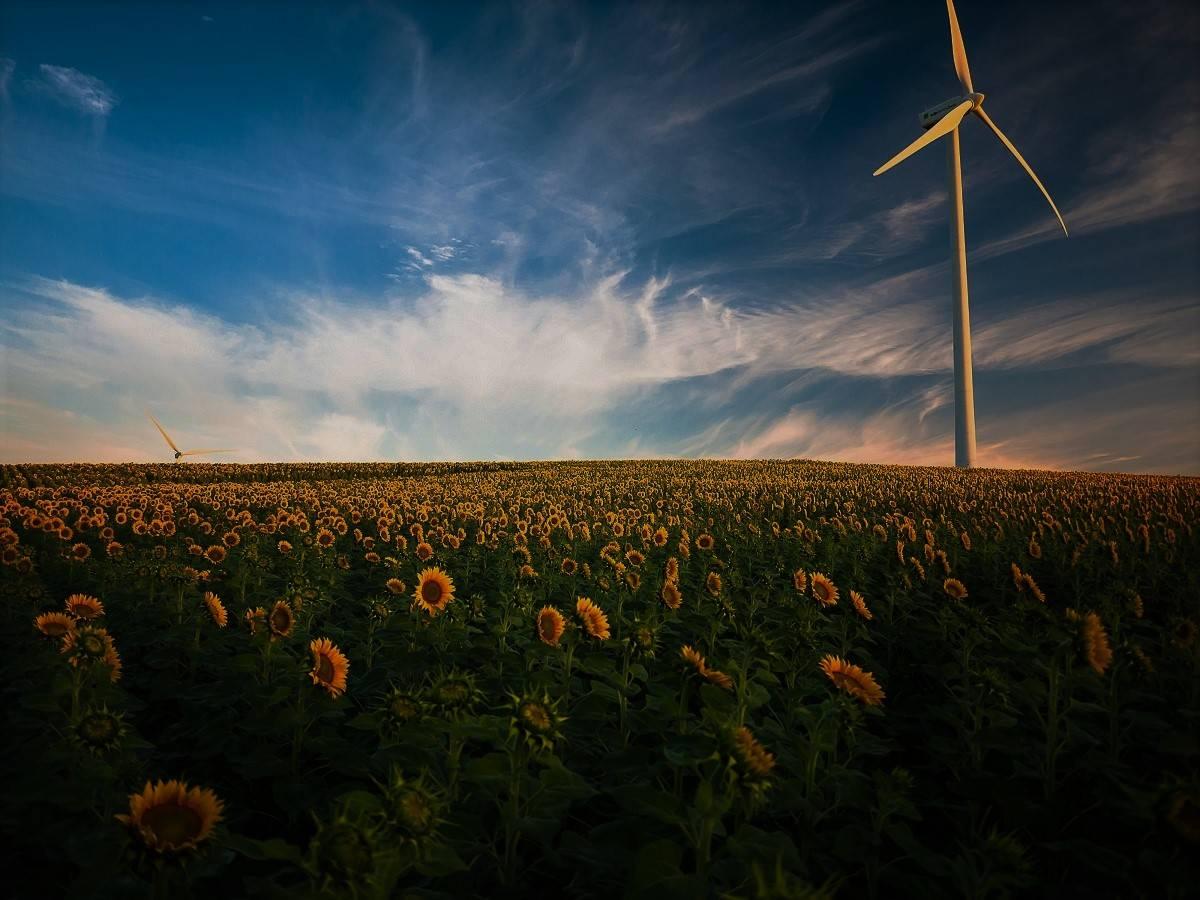 A wind turbine in a field of sunflowers