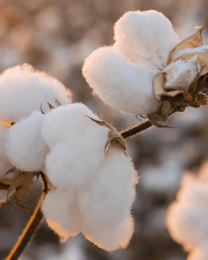A closeup of organic cotton.