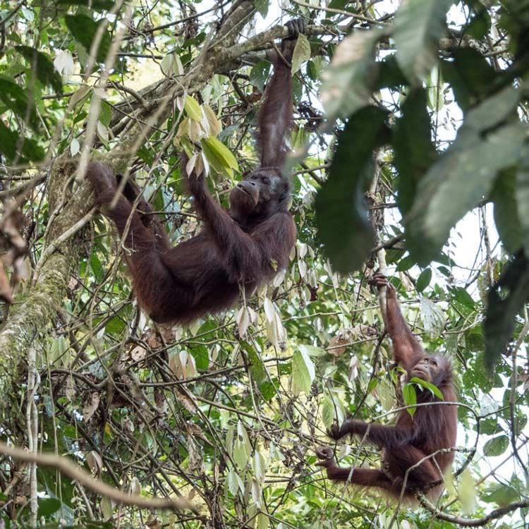 Travelbay Borneo Tours - Customer Reviews - Simon Collard - Danum Valley - Orang-utans