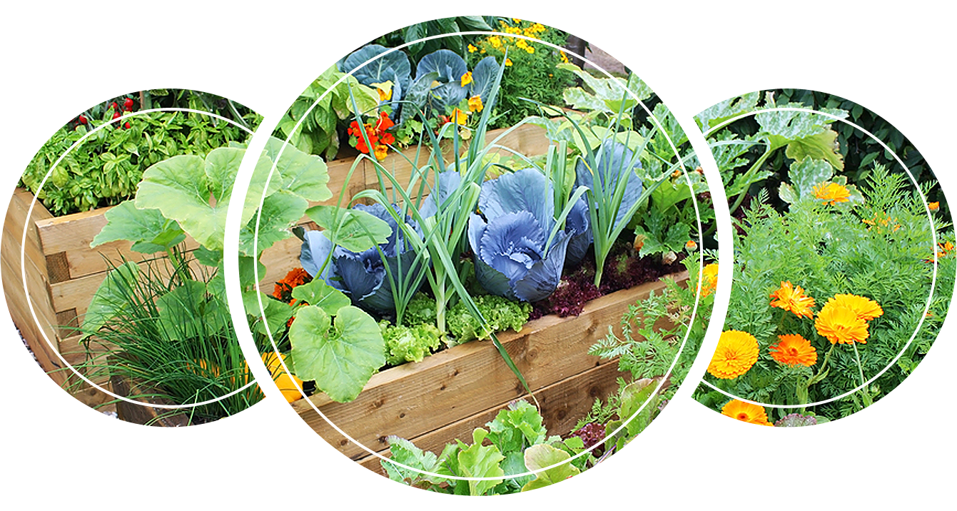 Companion plants in raised beds