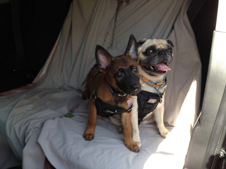 Belgian Malinois (shepherd) puppy and pug riding in FJ Cruiser