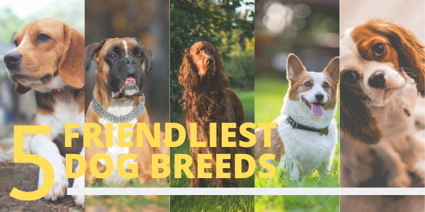 5 Friendliest dog breeds; a collage of 5 types of dogs. A beagle, a boxer, Irish setter, welsh corgi, and a king cavalier Charles