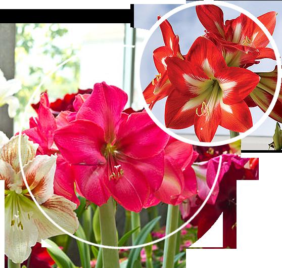 Holiday Star Amaryllis Plant
