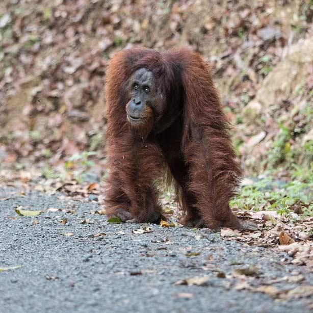 Travelbay Borneo Tours - Customer Reviews - Simon Collard - Danum Valley - Orang-utan