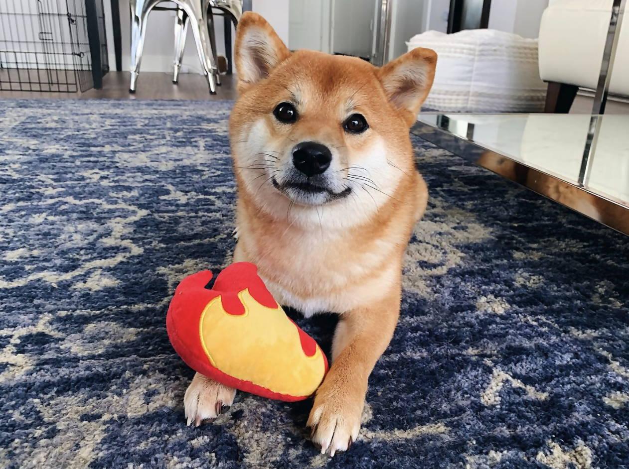 Hachi the Shiba Inu enjoying Spark Paws' Fire Plush Toy.