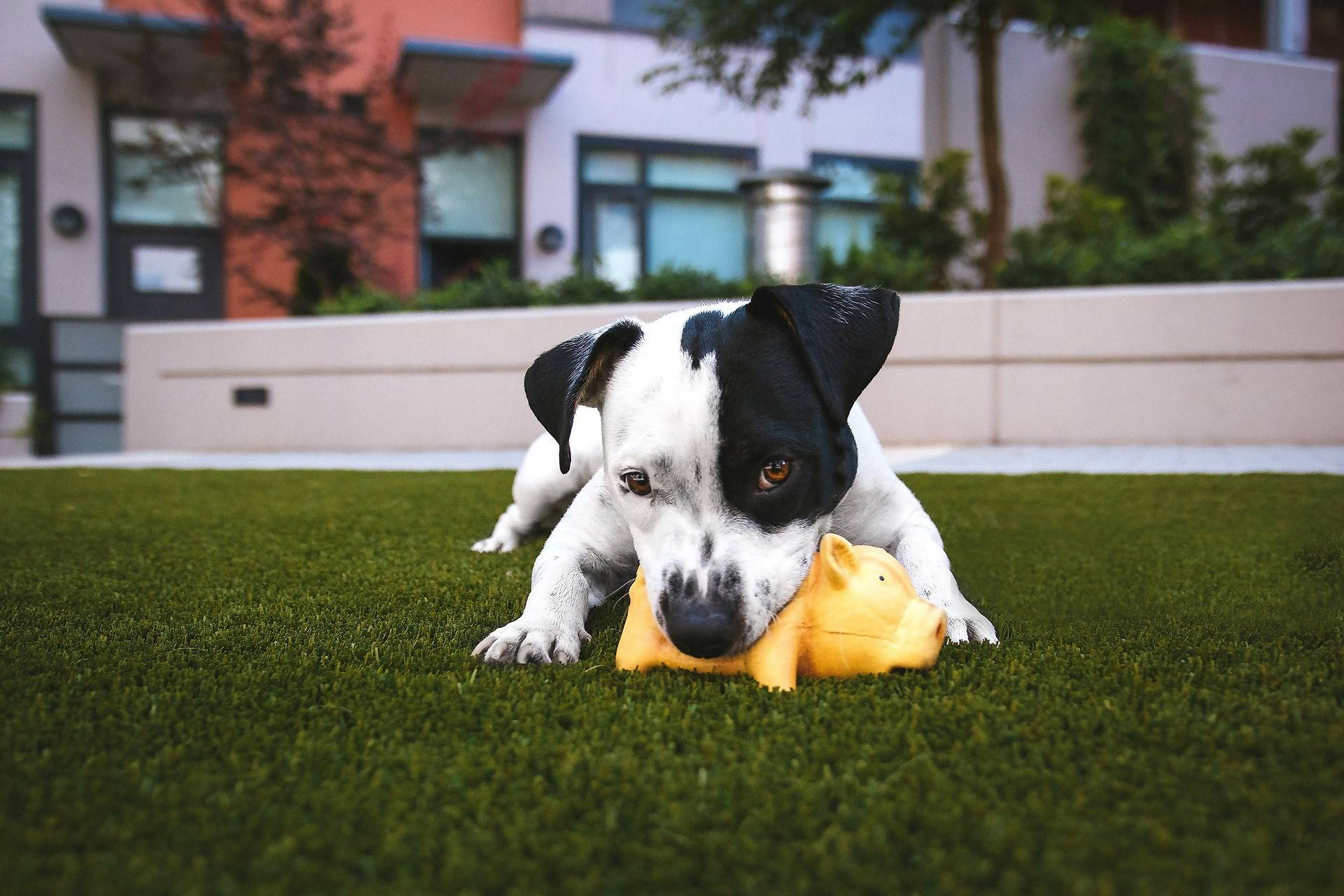 A Jack Russell Terrier puppy playing with a squeaky rubber pig