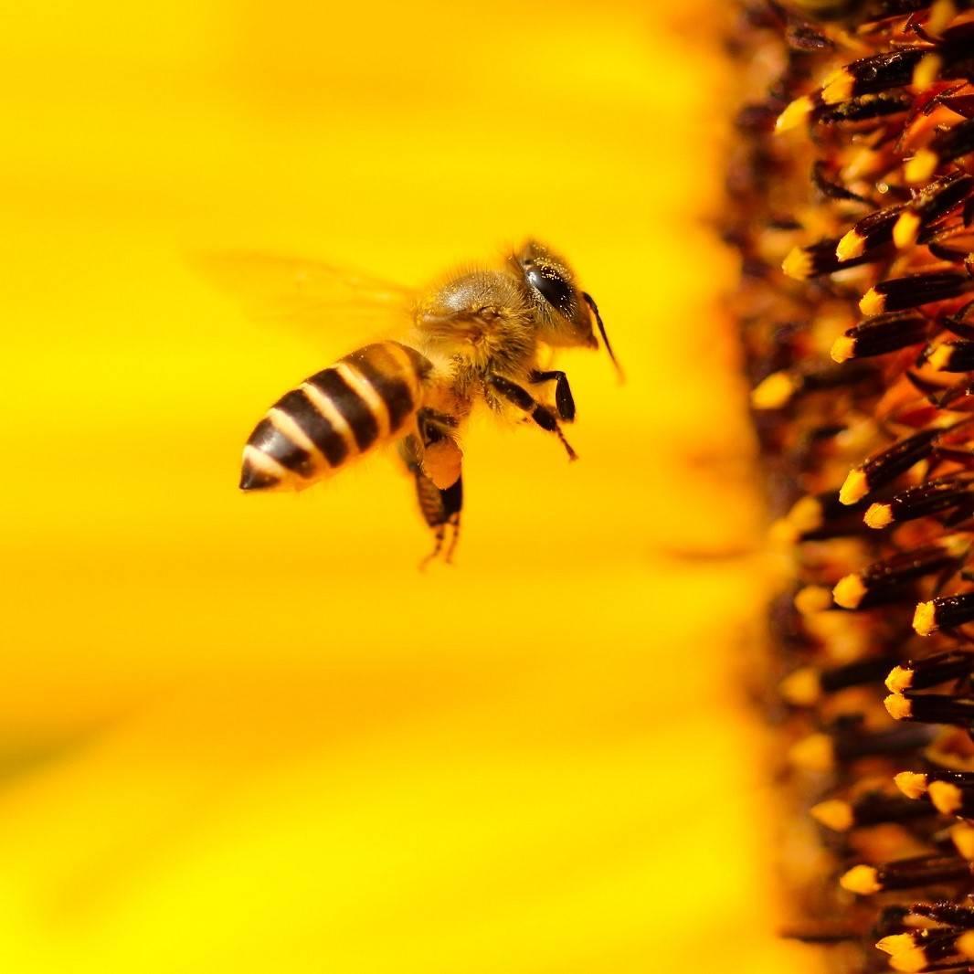 A bee approaching a sunflower