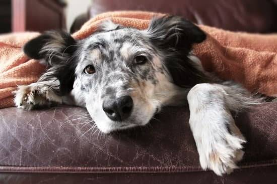 An Australian Shepherd lays under a beige blanket on a cushion