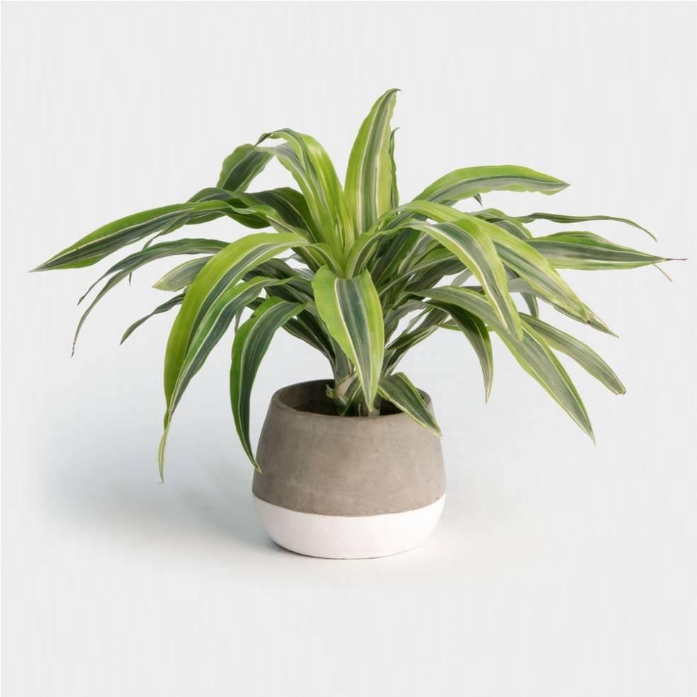 Lemon Lime Dracaena Plant Care