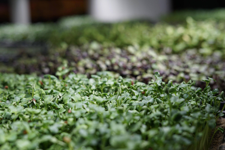 Rettich und Radiesli Microgreens im Ökosystem