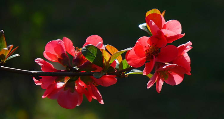 Pruning Japanese Quince