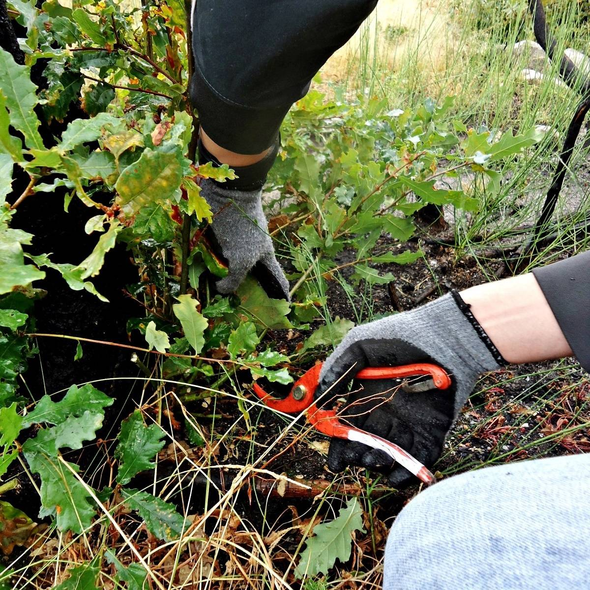 A person pruning a young oak tree to promote growth